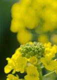 Fiori del seme di ravizzone Immagine Stock Libera da Diritti