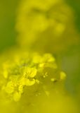 Fiori del seme di ravizzone Fotografie Stock