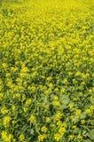 Fiori del seme di ravizzone del seme oleifero Fotografie Stock Libere da Diritti