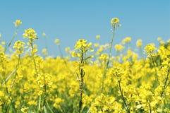 Fiori del seme di ravizzone del seme oleifero Immagini Stock Libere da Diritti