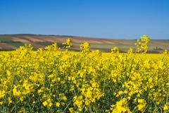 Fiori del seme di ravizzone del seme oleifero nel campo agricolo coltivato Fotografia Stock Libera da Diritti