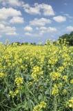 Fiori del seme di ravizzone del seme oleifero nel campo agricolo coltivato Immagine Stock Libera da Diritti