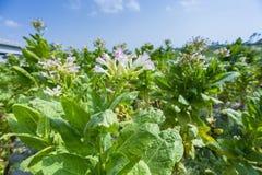 Fiori del tabacco contro un cielo blu Fotografia Stock Libera da Diritti