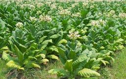 Fiori del tabacco nella pianta dell'azienda agricola Fotografie Stock