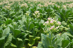 Fiori del tabacco nella pianta dell'azienda agricola Fotografie Stock Libere da Diritti