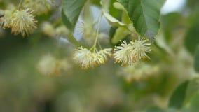 Fiori del tiglio sui rami verdi Stagione di fioritura di estate Aromaterapia e tè verde della calce Movimento lento archivi video