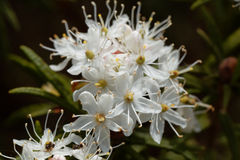 Fiori del tomentosum del rododendro del tè di labrador della palude Fotografia Stock