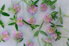 Fiori del trifoglio dell'erba sul fondo della tela Fotografie Stock