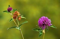 Fiori del trifoglio di trifolium pratense in primavera fotografia stock