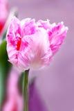 Fiori del tulipano Fotografie Stock Libere da Diritti