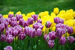 Fiori del tulipano Fotografie Stock