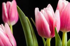 Fiori del tulipano Fotografia Stock