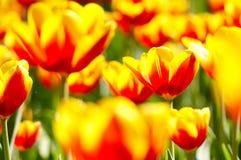 Fiori del tulipano Immagini Stock