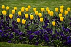 Fiori del tulipano della primavera Immagini Stock Libere da Diritti