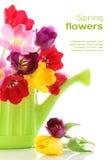 Fiori del tulipano della sorgente in latta di innaffiatura Fotografia Stock Libera da Diritti