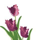 Fiori del tulipano isolati su white Fotografie Stock