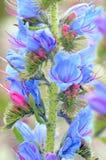 Fiori del vulgare di echium (il Bugloss o il Blueweed della vipera) Immagine Stock Libera da Diritti