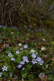Fiori delicatamente blu nella tonalità degli arbusti immagini stock libere da diritti