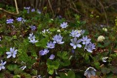 Fiori delicatamente blu nella tonalità degli arbusti fotografia stock