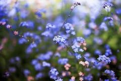 Fiori delicati del nontiscordardime di varie tonalità in primavera del giardino soleggiato stancato blu e rosa fotografia stock