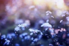fiori delicati del nontiscordardime di varie tonalità in primavera del giardino soleggiato stancato blu e rosa fotografie stock libere da diritti