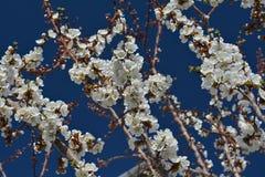 Fiori delicati dell'albicocca Fotografie Stock Libere da Diritti