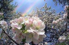 Fiori delicati della mela Fotografia Stock Libera da Diritti