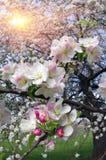 Fiori delicati della mela Fotografie Stock Libere da Diritti