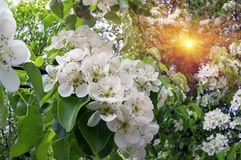 Fiori delicati della mela Fotografia Stock