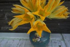 Fiori deliziosi gialli fini delicati dello zucchini fotografia stock
