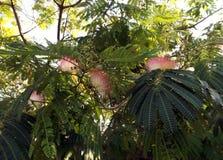 Fiori dell'acacia (julibrissin di Albizzia) Fotografia Stock