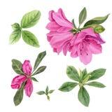 Fiori dell'acquerello Azalee rosa luminose Fotografia Stock Libera da Diritti