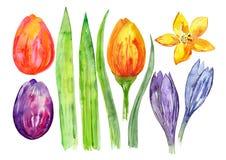 Fiori dell'acquerello, tulipani e foglie decorativi, strutture della molla dell'acquerello, insieme di tema dei fiori di Pasqua Fotografia Stock
