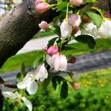 Fiori dell'albero immagini stock libere da diritti