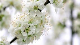 Fiori dell'albero che ondeggiano nella brezza stock footage
