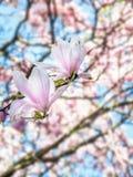 Fiori dell'albero della magnolia in fiore Immagine Stock