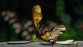 Fiori dell'albero di acero sulla lampadina Immagine Stock