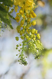 Fiori dell'albero di doccia dorata Immagine Stock