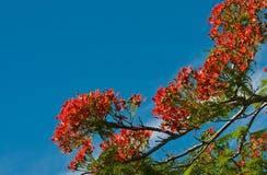 Fiori dell'albero di fiamma Immagini Stock Libere da Diritti