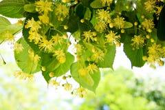 Fiori dell'albero di Linden Fotografie Stock