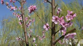 Fiori dell'albero di nettarina, fiorenti in primavera sotto il cielo video d archivio
