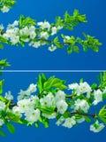 Fiori dell'albero di pera Immagini Stock Libere da Diritti