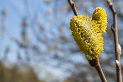 Fiori dell'albero di salice Fotografia Stock