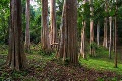 Fiori dell'albero e della corteccia di Kurz di calyculata di Lagerstroemia in Tailandia Immagine Stock