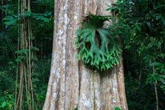 Fiori dell'albero e della corteccia di Kurz di calyculata di Lagerstroemia in Tailandia Immagini Stock Libere da Diritti