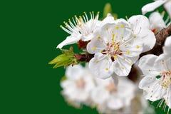 Fiori dell'albicocca Immagini Stock
