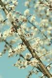Fiori dell'albicocca Fotografie Stock