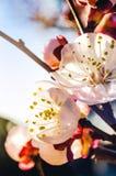 Fiori dell'albicocca Immagine Stock