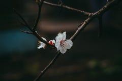 Fiori dell'albicocca Fotografia Stock Libera da Diritti