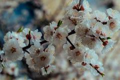 Fiori dell'albicocca Fotografia Stock